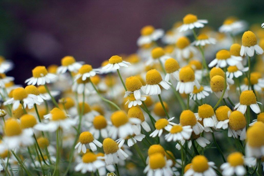 essenze per diffusori fiori Camomilla