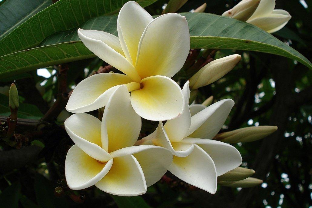 essenze per diffusori fiori frangipane