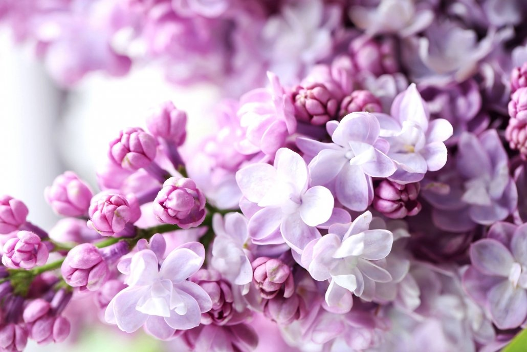 essenze per diffusori fiori lilla