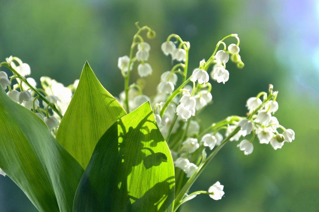 essenze per diffusori fiori mughetto