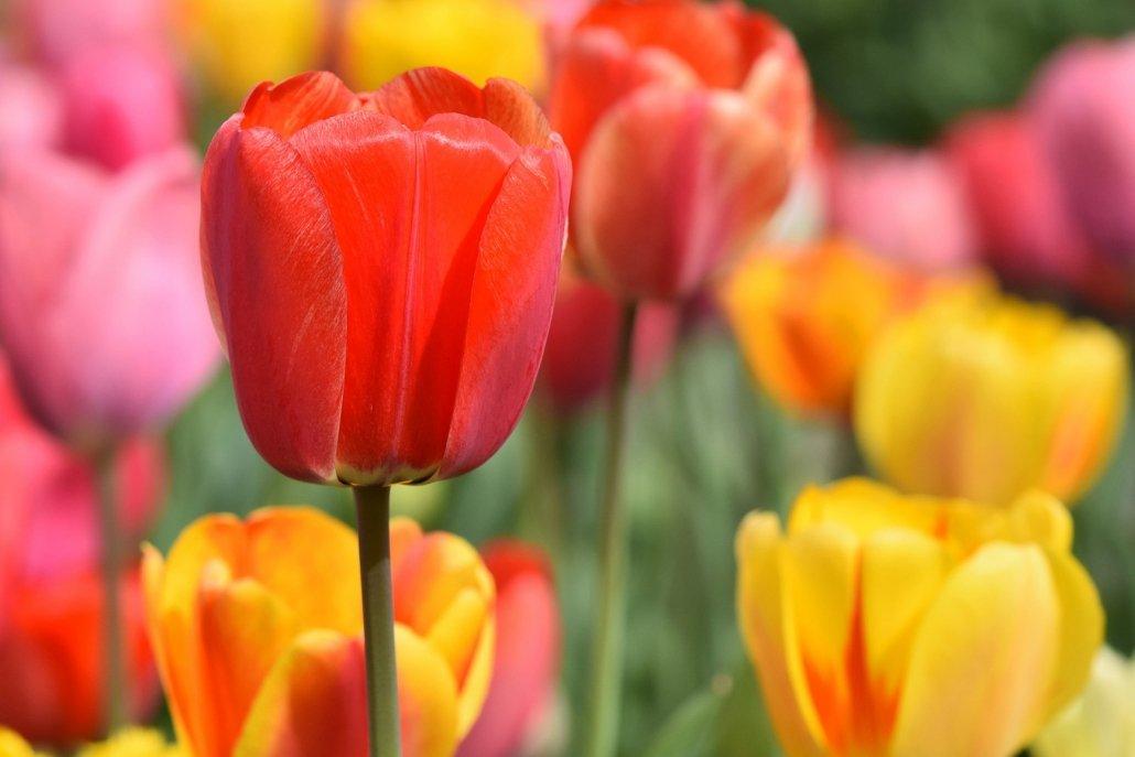 essenze per diffusori fiori tulipano