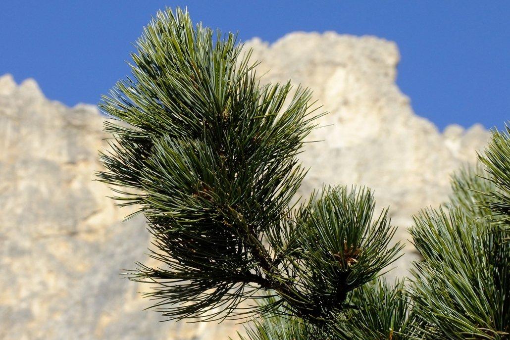 Essenze per diffusori legno pino cembro
