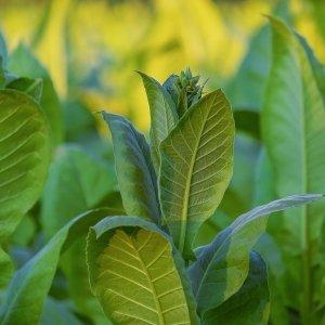 Fragranze pelli tabacco