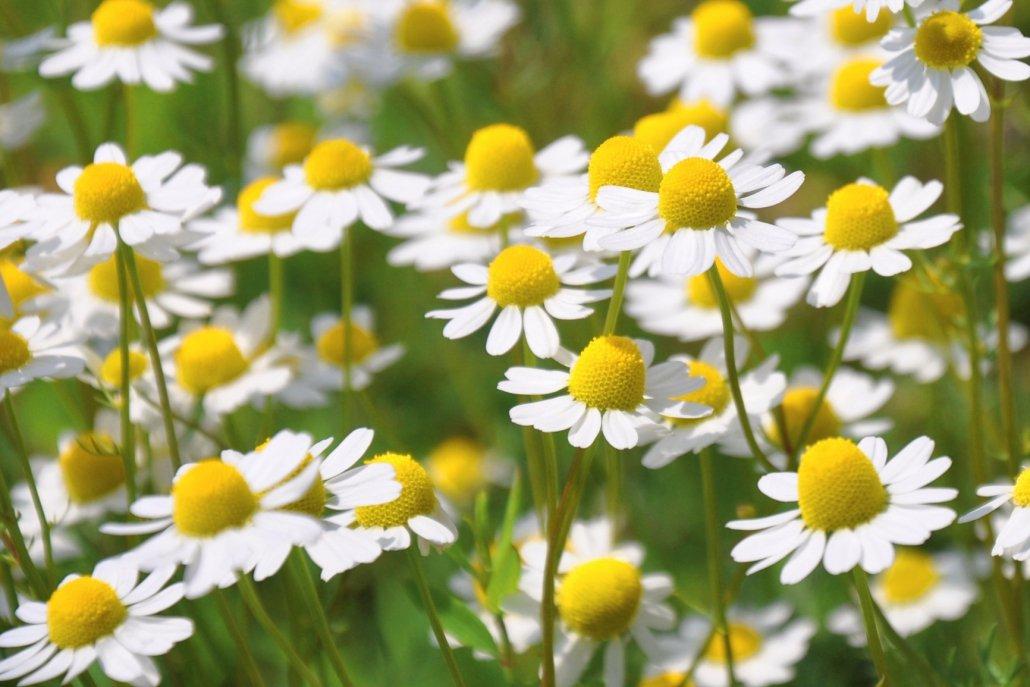 essenze per diffusore fiori Camomilla