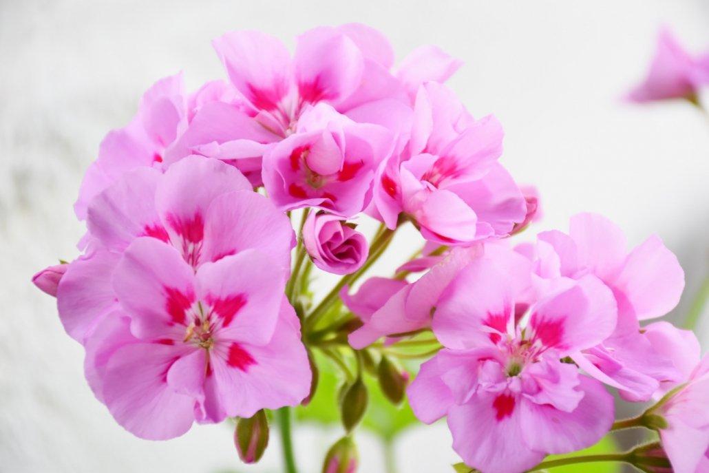 essenze per diffusori fiori Geranio