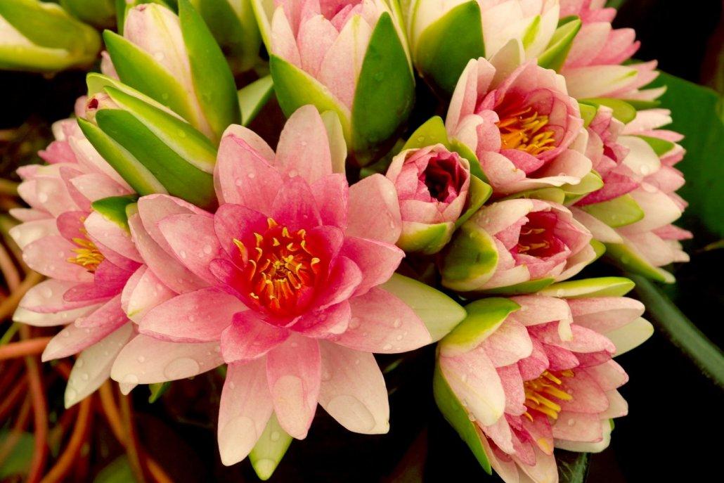 Essenze orientali per diffusori fiori di loro & corallo