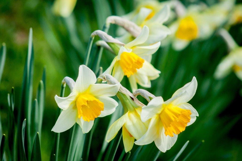 essenze per diffusori fiori narciso