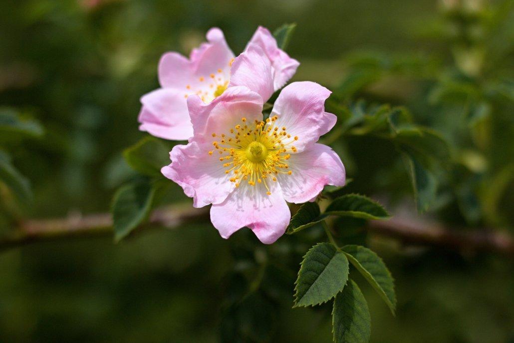 essenze per diffusori fiori rosa canina