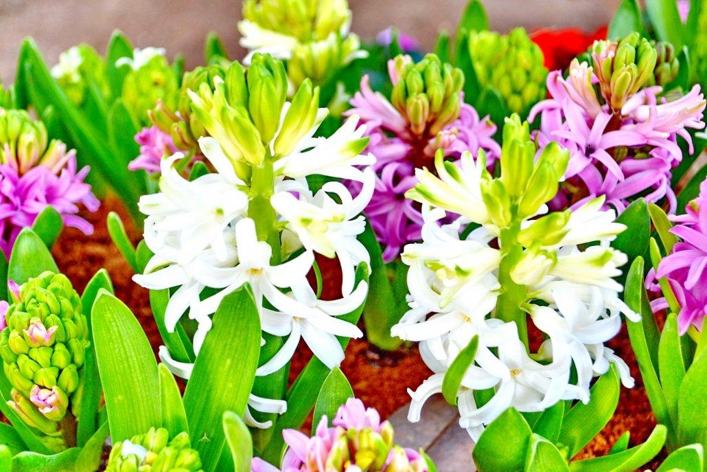 essenze per diffusori fiori tuberosa