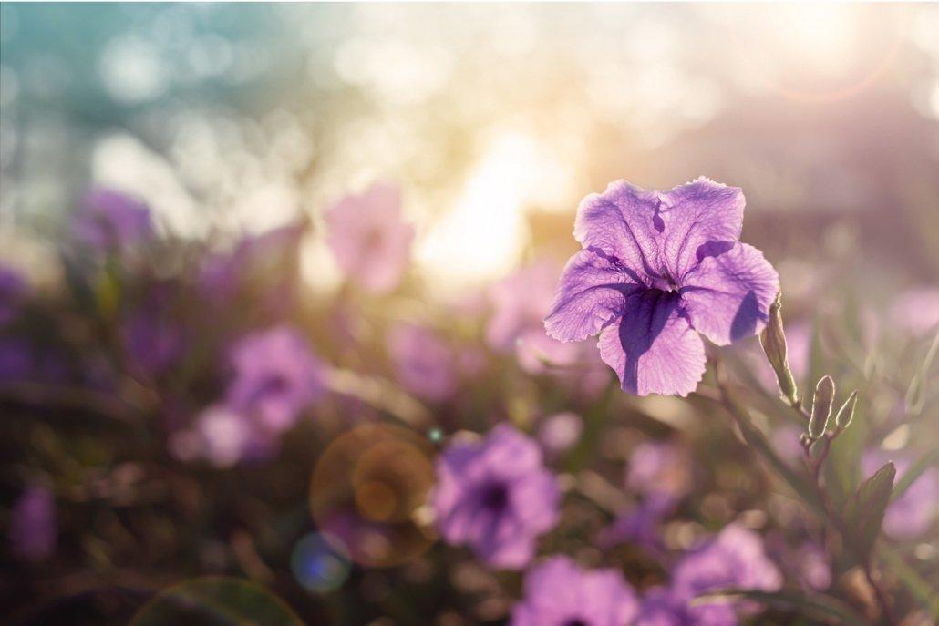 essenze per diffusori fiori viola